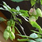 Plunksnalapių lekėčių vaisiai