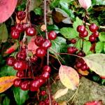 Rojaus obelaitės vaisiai rudeni