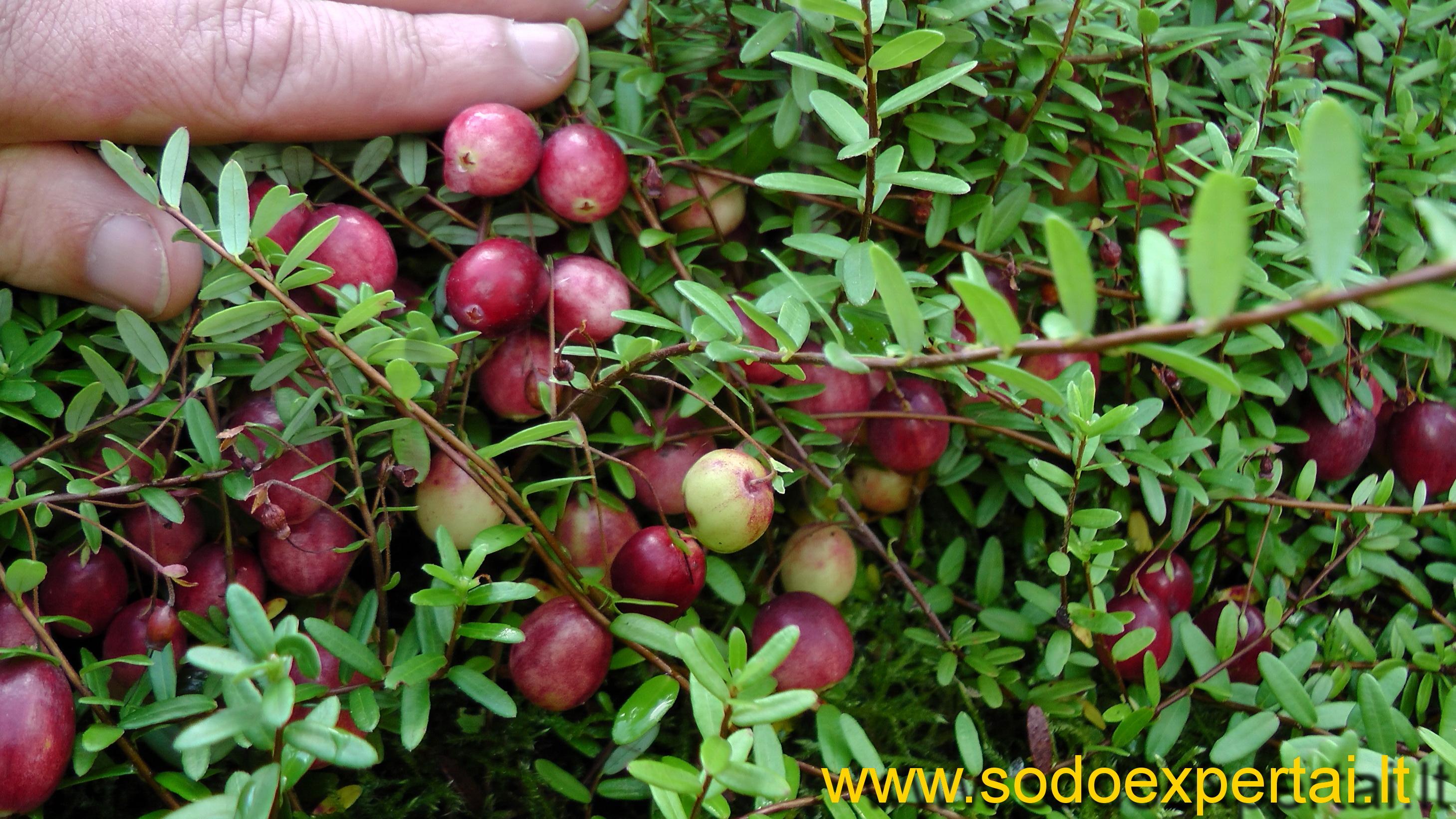 Клюква: сорта, выращивание и уход