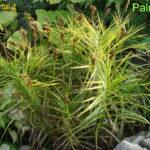 Palminė viksva (lot. Carex muskingumensis)