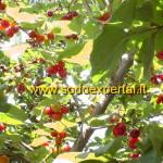 Geltonžiedės sedulos vaisiai