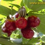 Sedulos vaisiai