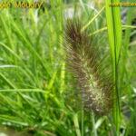 Soruolė 'Moudry' (lot. Pennisetum alopecuroides 'Moudry')