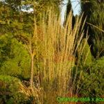 Smailiažiedis lendrūnas 'Overdam' (lot. Calamagrostis x acutiflora 'Overdam')