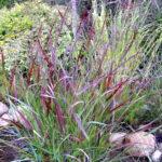 Dekoratyvinės žolės Rykštėtoji sora 'Squaw' (lot. Panicum virgatum 'Squaw')