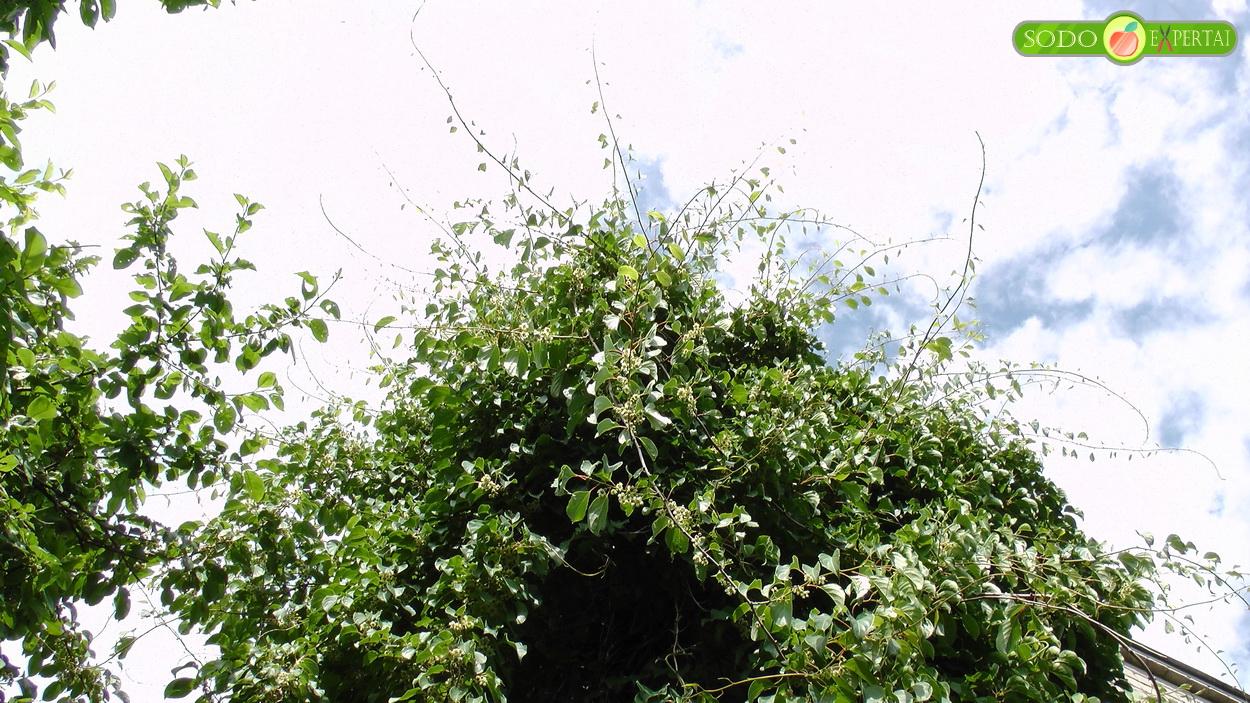 Smailialapė (dailioji) aktinidija (lot. Actinidia arguta)