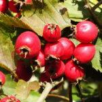 Švelniosios gudobelės vaisiai
