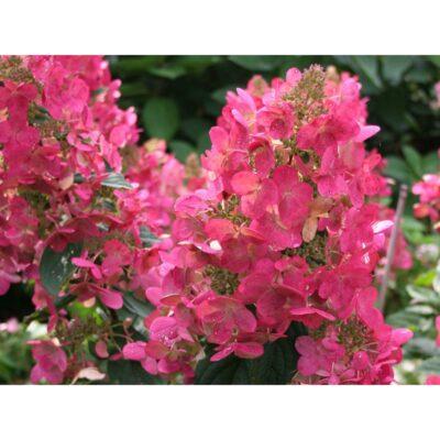 """Šluotelinė hortenzija Mega Mindy® (lot. Hydrangea paniculata """"ILVOMindy"""")"""