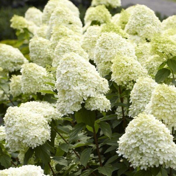 """Šluotelinė hortenzija Limelight® (lot. Hydrangea paniculata """"Limelight"""")"""